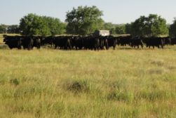 beef cattle in field