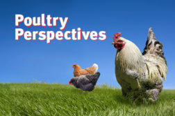poultry perspectives feat