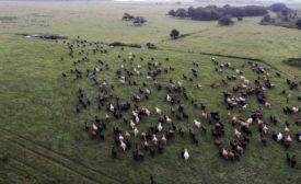 cattle roaming