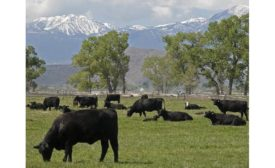 UNR cattle