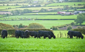 Foyle Group cattle