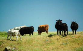 Grass Fed Beef shot