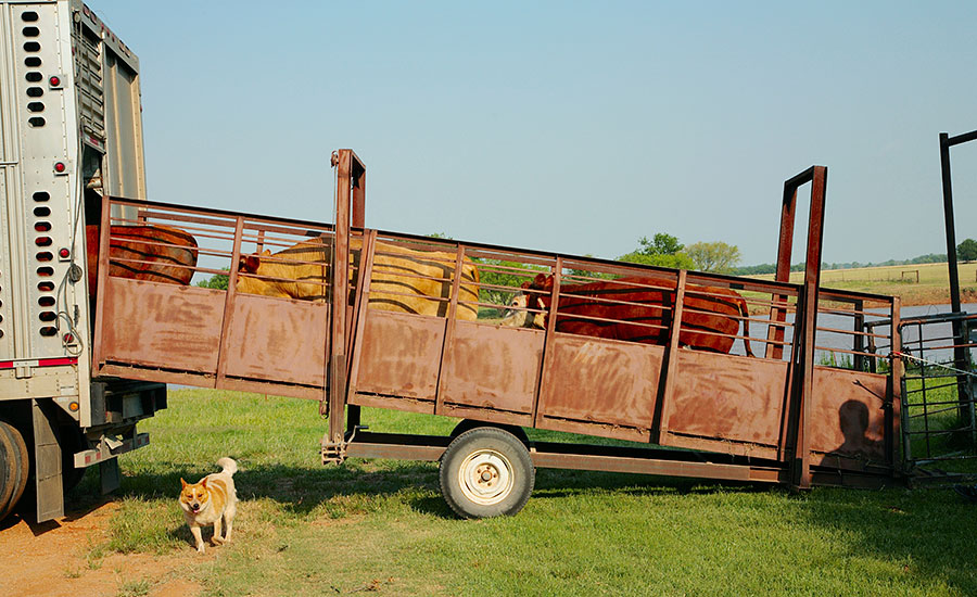Of six handling-related incidents in 2015, five involved the unloading of animals from trailers to slaughter establishments