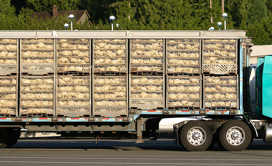 Chickens being transported to slaughter