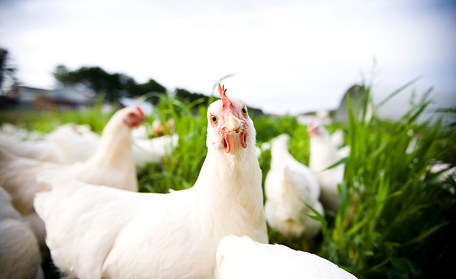 Antibiotic-free, Humanely Raised Chickens