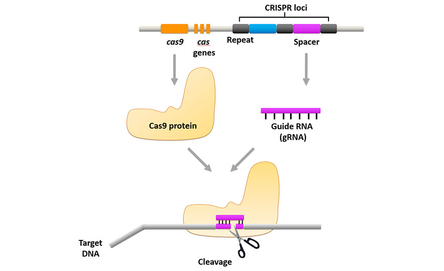 Illustration of the CRISPR-Cas9 system containing Cas9 protein and guide RNA