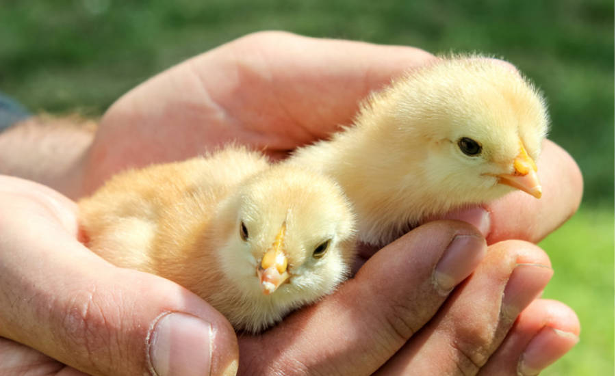 Two Chicks Held in Hands
