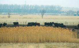Herd of Cows in Field