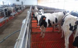 Veal Calves in Group Housing