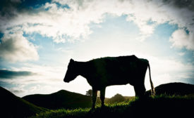 Silhouette of Cow in Field