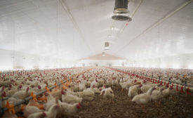 Chickens Inside Poultry Barn