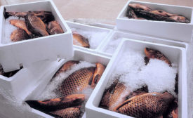 Packages of Fish in Ice