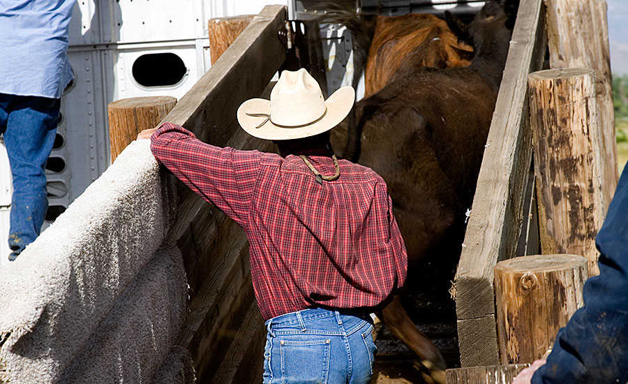 Rancher Loading Cattle