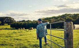 Farmer Overlooking Cattle Field