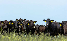 Herd of Cows