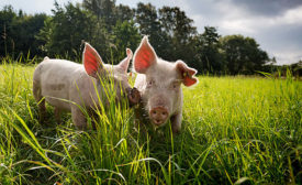 two piggies nuzzling in a field