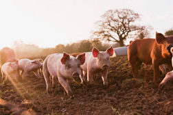 pigs, pork, animal welfare