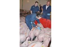 pork, pigs, pork supply chain
