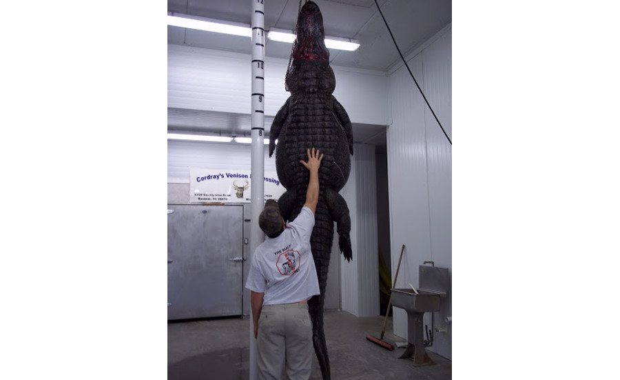 An alligator hands before being processed at Cordray's