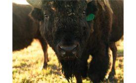 Closeup of Bison