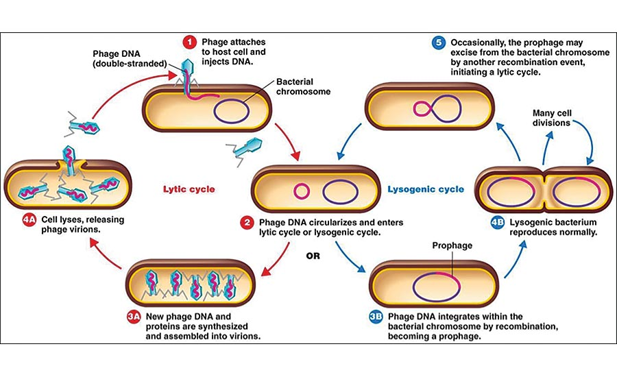 Lytic and Lysogenic Cycles of Bacteriophage