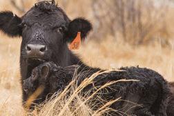 heifer, cattle, animal handling