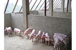 livestock, pigs