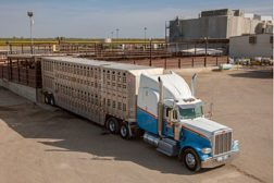 semi truck, cattle ranch
