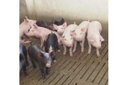pork, pork processing