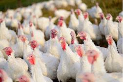 turkeys, poultry