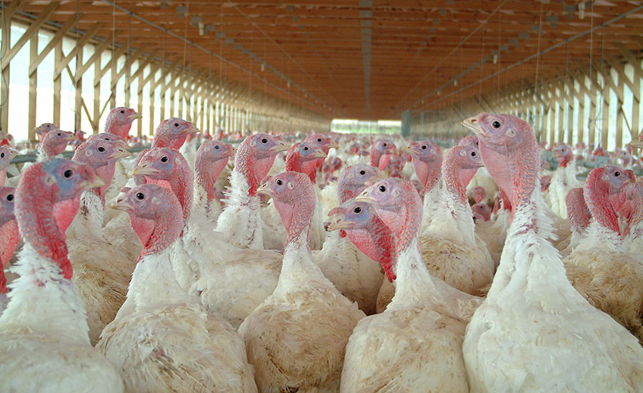 Domestic turkey, domestic poultry, turkey supply