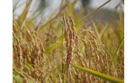Beneo Organic Rice Starch