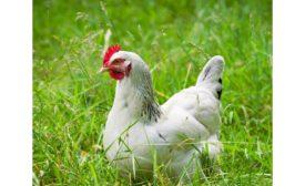 Symrise Diana Foods organic chicken ingredients