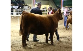 National Western Stock Show Sure Champ Champion 900.jpg